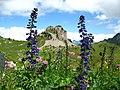 5693 - Schynige Platte - Oberberghorn, Aconitum.JPG