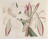 579 Crinum latifolium (as Amaryllis insignis)