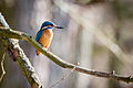 5D3 0747 sa kingfisher bird waiting for dinner.jpg
