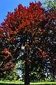 61-216-5002 бук пурпуролистий хоростків.jpg