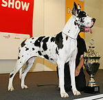 """A large white dog with black patches stands next to a trophy."""