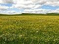A Buttercup Field - geograph.org.uk - 1354197.jpg