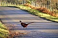 A Pheasant on the Road to Dalcroy - geograph.org.uk - 1609613.jpg
