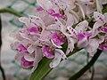 A and B Larsen orchids - Rhynchostylis gigantea spot DSCN4849.JPG