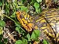 A box turtle at Sayville National Wildlife Refuge. (11672548396).jpg