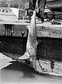 A caught shark (AM 75649-1).jpg