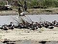 A flock of birds at Murchison Falls National Park, Uganda.jpg