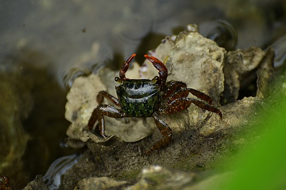 A fresh water crab in Kannur, Kerala (14).jpg