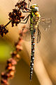 A migrant hawker dragonfly.jpg