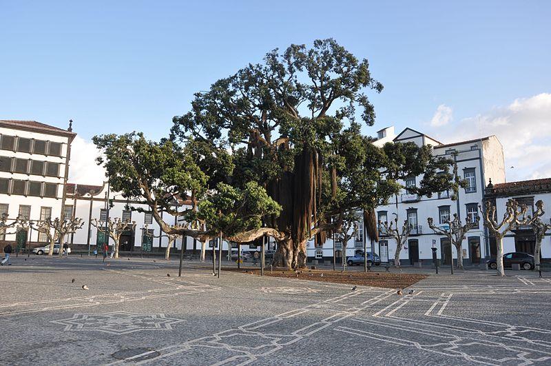 File:A tree in Praço 5 de Outubro, Ponta Delgada (16241091194).jpg