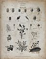 A variety of animalcules, including opercularias, nebulifera Wellcome V0021982.jpg