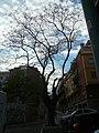 Acàcia del Japó del carrer del Mas Duran P1500897.jpg