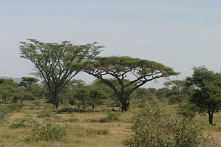 <i>Vachellia abyssinica</i> species of plant