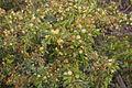 Acacia aspera (Rough Wattle), Werribee Gorge State Park, Victoria Australia (5106348243).jpg