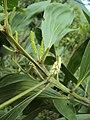 Acacia mangium 1.JPG