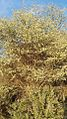 Acacia mellifera subsp. detinens13.jpg