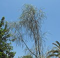 Acaciastenophylla.JPG
