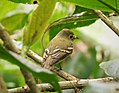 Acadian Flycatcher Empidonax virescens - Flickr - gailhampshire.jpg