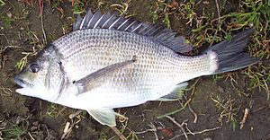 Acanthopagrus butcheri - A southern black bream caught from Snowy River, Victoria