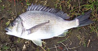 Porgy fishing - A southern black bream caught from Snowy River