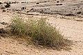 Acanthosicyos horridus - Nara-1572 - Flickr - Ragnhild & Neil Crawford.jpg