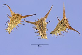 Acanthospermum hispidum seeds.jpg