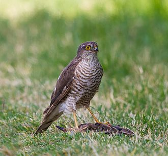 Eurasian sparrowhawk - Male capturing common starling