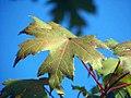 Acer freemanii Autumn Blaze 1zz.jpg