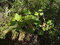 Acer monspessulanum.002 - Serra de Enciña de Lastra.JPG