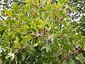 Acer monspessulanum. Pládanu de Montpellier.jpg