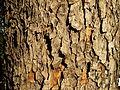 Acer obtusatum (46).JPG