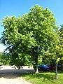 Acer saccharinum 'pyramidalis'.jpg