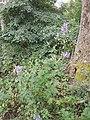 Aconitum variegatum subsp. variegatum sl43.jpg