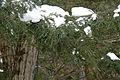 Adelges tsugae infestation 0495.jpg