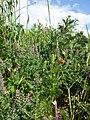 Adonis aestivalis + Fumaria officinalis sl1.jpg