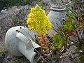 Aeonium arboreum flower.jpg