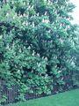 Aesculus hippocastanum1.jpg