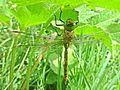 Aeshna isoceles (Odonata sp.), Arnhem, the Netherlands - 2.jpg