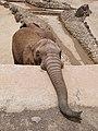 African bush elephant - afrikanischer Elefant - Éléphant de savane d'Afrique - Loxodonta africana - 04.jpg