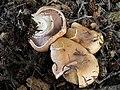 Agaricus amicosus 166389.jpg