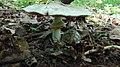 Agaricus sp. gljiva (4).jpg