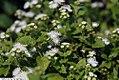 Ageratum houstonianum Hawaii White 3zz.jpg