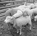 Agriculture in Britain- Life on Mount Barton Farm, Devon, England, 1942 D9924.jpg