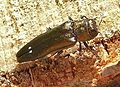 Agrilus biguttatus up.JPG