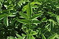 Agrimonia procera kz01.jpg