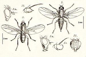 Agromyzidae - Figure 3 Cerodontha denticornis, 3a head lateral, 3b antenna, and figure 5 Phytomyza affinis 5a head lateral, 5b face, 5c antenna