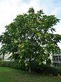 Ailanthus altissima Götterbaum HD.JPG
