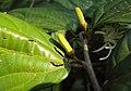 Alangium Salvifolium 06.JPG