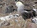 Albatross birds - Espanola - Hood - Galapagos Islands - Ecuador (4871675072).jpg