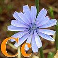 Alfabet roślin - literka C.jpg